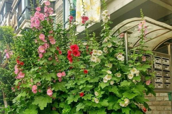 好不容易爆盆的花,邻居却说不吉利,全给砍断了!