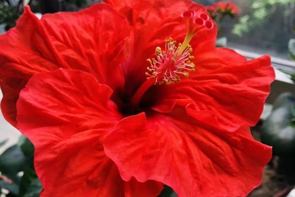 花期最长的花就是它,1年能开365天,一朵比拳头还大!