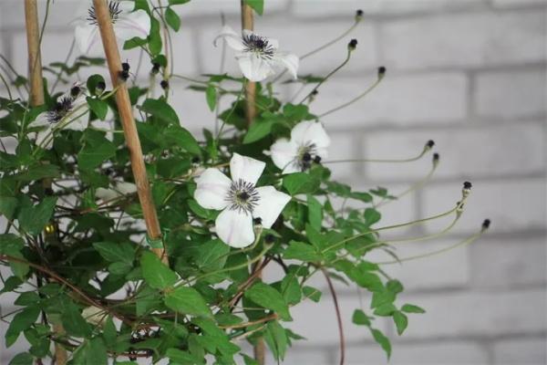 铁线莲的养护方法,现在不种它,后悔一整年!