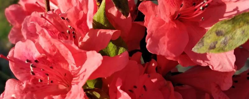映山红花语和寓意
