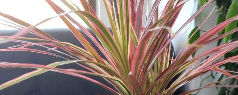 三色龙血树的养殖方法和注意事项
