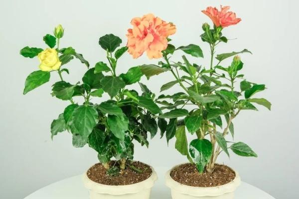 扶桑花的养殖方法,多晒太阳,一年能开300天!