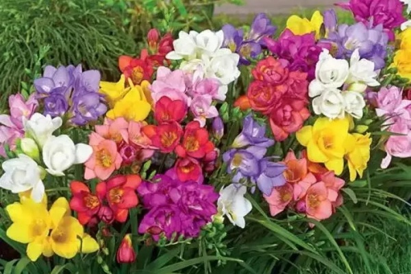 这花一看像草,开花五颜六色,香味儿特高级!