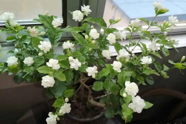 最耐晒的花就是它,30℃高温照样开,满屋子都是香气!