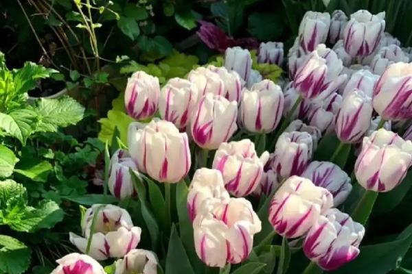 """白胖的""""大蒜""""埋土里,2个月就开花,清新淡雅有格调!"""