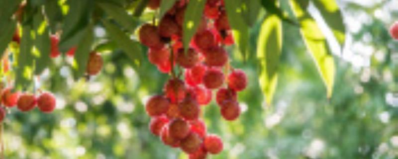 荔枝保花保果要喷什么药