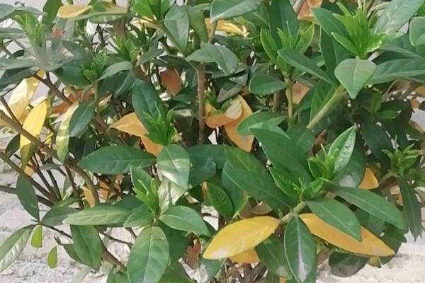 这花叶子一黄,再热也要剪光,严重还要换盆!