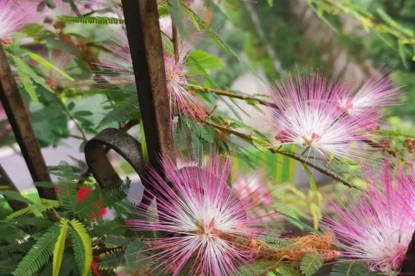 初夏最值得养的花,开花像是小扇子,真美!