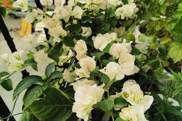 最耐热的花就是它,30℃仍然疯狂开花,爬成一面大花墙!