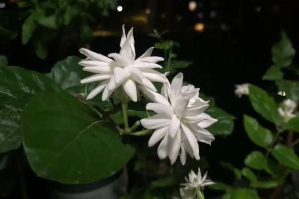栀子、茉莉…竟有5个品种,一个比一个香,叶子带花纹的更值钱!