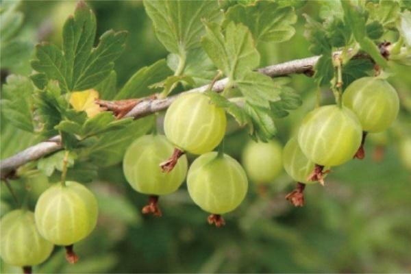 农村18种野果,吃过一半以上的,都是大神!