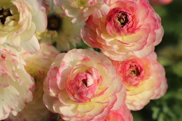 """最有气质的""""牡丹""""花,一盆能开20朵,南北都能养!"""