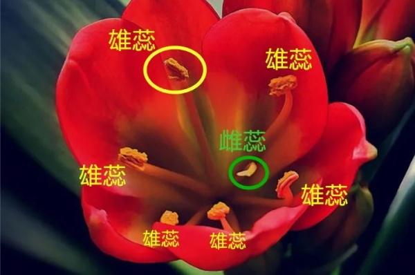 这花需要人工授粉,棉球棒点一点,结了大把种子!