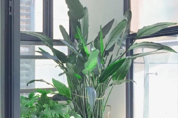 客厅摆盆它,叶子竖着长,有品位上档次!