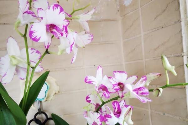 兰花里的开花机器,一朵能开40天,光不好也能养!