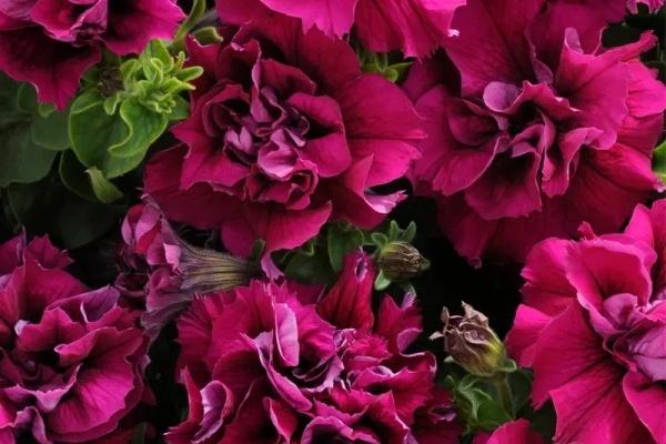 现在就养它,下个月爆盆开花,一口气开到明年!