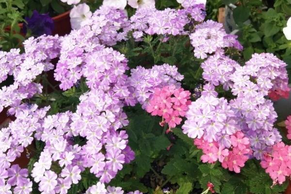 这花秋天必须养,1棵开成大花球,家里变成小花园!