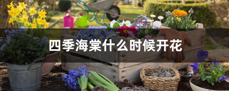 四季海棠什么时候开花
