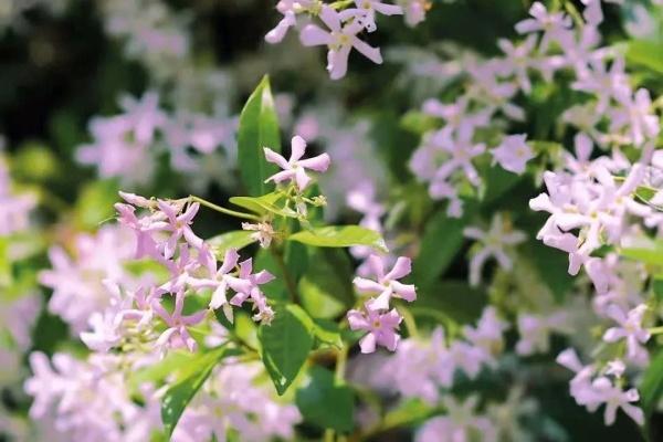 这款香香花,1次开花10000朵,2年养成粉色花墙!