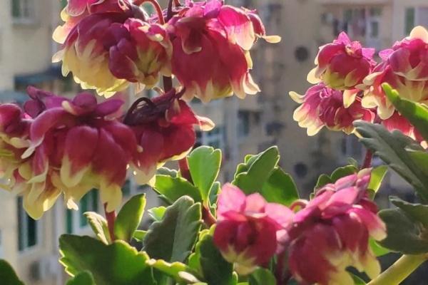 姐姐的长寿花,100个品种里,就数它最好看!