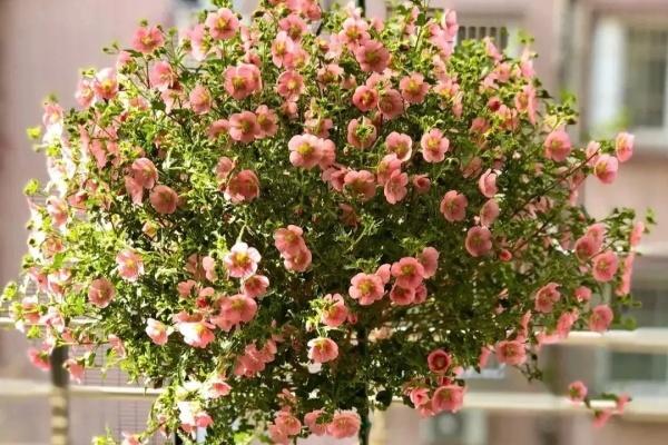 开花劳模就是它,1次能开1000朵,养成棒棒糖太羡慕!