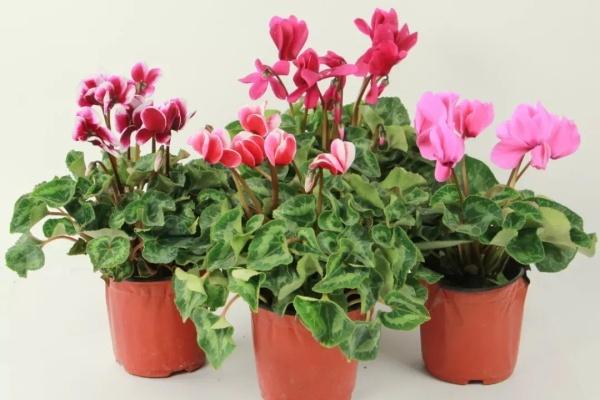 耐阴的开花植物,房间里养一盆,能开200天!