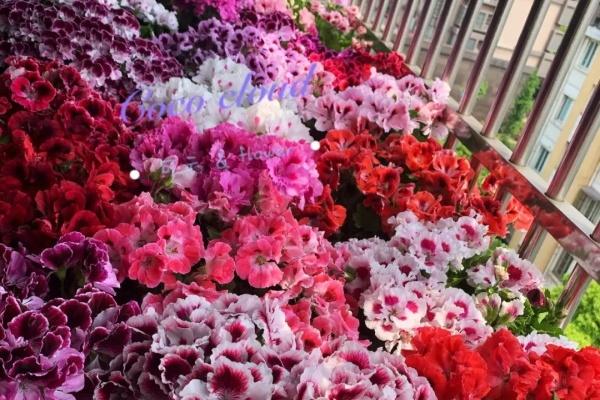 防盗窗养盆它,开花垂下2米,想赏花只能去对面!