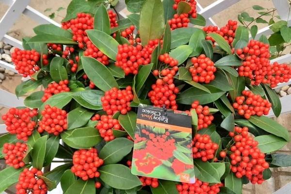 秋天养盆它,天越冷越变红,满树挂了1000个果!