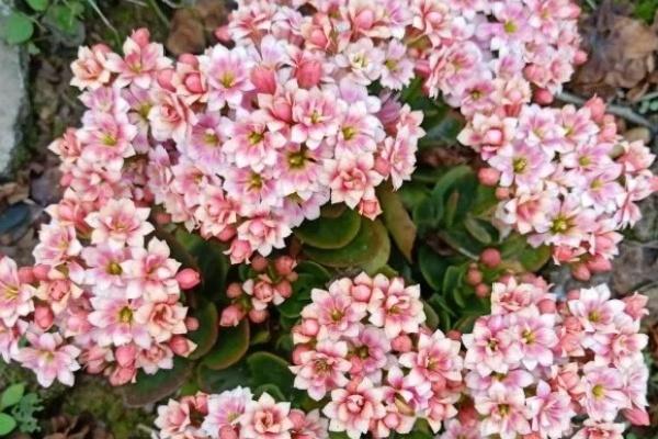院子地栽长寿花,长得像白菜,开花一大片!