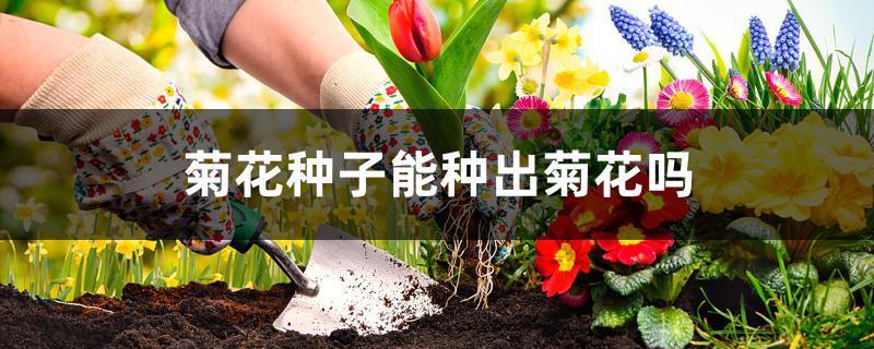 菊花种子能种出菊花吗