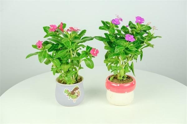 花期超长的花,365天开花不断,冬天小阳台必备!