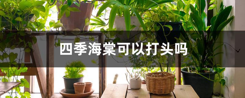 四季海棠可以打头吗