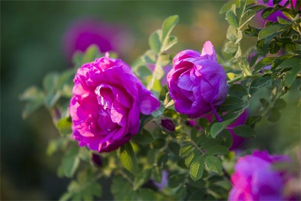 7种花,是天然染色剂,在古代非常名贵!
