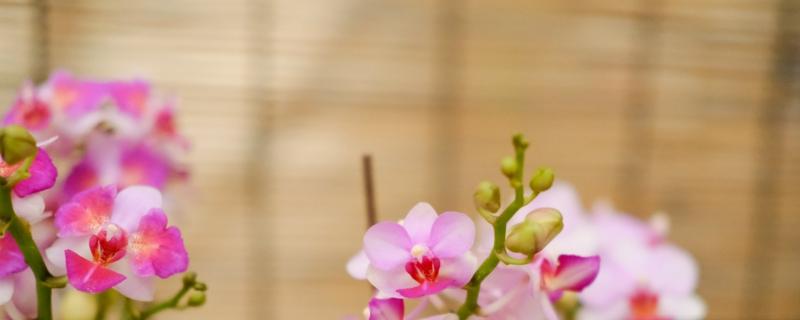 蝴蝶兰花苞为什么干瘪掉,叶子烂掉了还能活吗