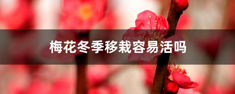 梅花冬季移栽容易活吗,冬季移栽注意什么