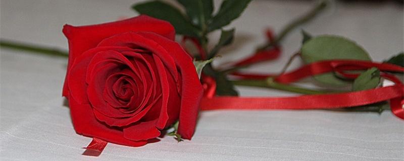 一支玫瑰花的花语是什么