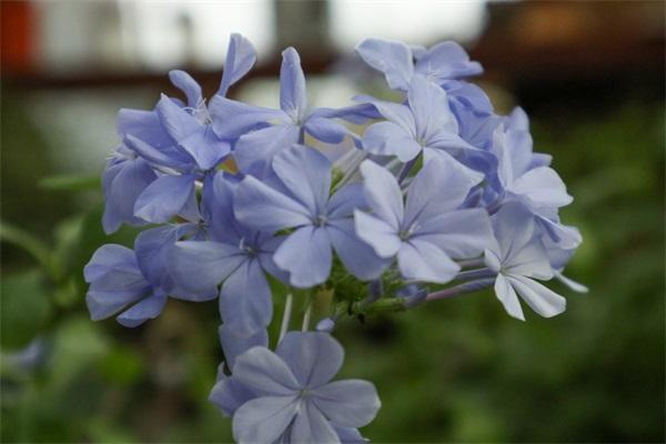 姐姐家的蓝雪花,竟然满盆开红色,变异了吗?