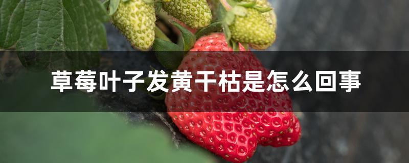 草莓叶子发黄干枯是怎么回事